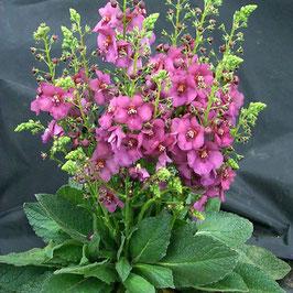 Verbascum x hybridum 'Plum Smokey'