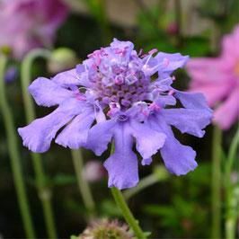 Scabiosa lachnophylla 'Blue Horizon'