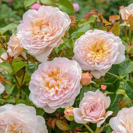Englische Rose 'Emily Brontë