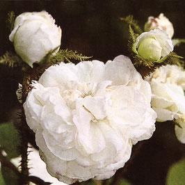 'Blanche Moreau' (Damaszener-Moosrose)