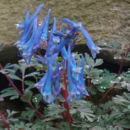 Corydalis curviflora var. rosthornii 'Blue Heron' DJHC0615