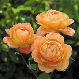 Englische Rose 'Lady Of Shalott'