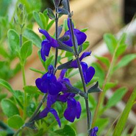 Salvia greggii 'Blue Note' - Pfirsich-Salbei