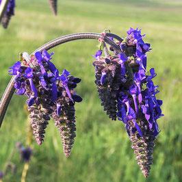 Salvia nutans - Nickender Salbei