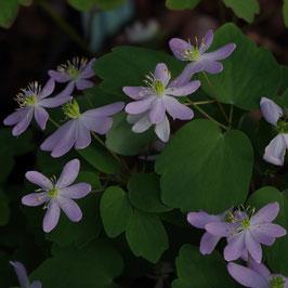 Anemonella thalictroides 'Roseum'