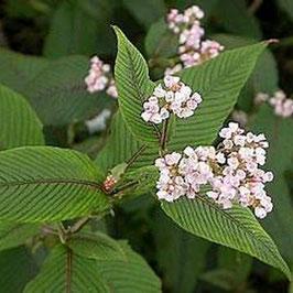 Persicaria campanulata var. lichiangensis - Lichiang-Glöckchen-Knöterich