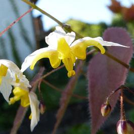 Epimedium x hybr. 'Mandarin Star'