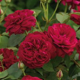Englische Rose 'Darcey Bussel'