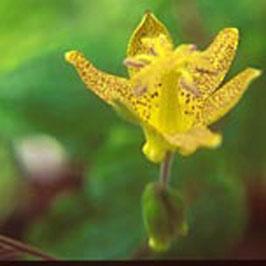 Tricyrtis latifolia BSWJ10996