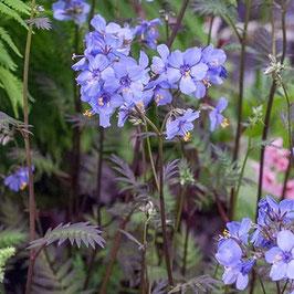 Polemonium yezoense 'Purple Rain' - Purpur-Jakobsleiter
