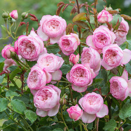 Englische Rose 'The Mill On The Floss'