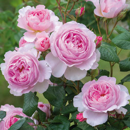 Englische Rose 'The Ancient Mariner'