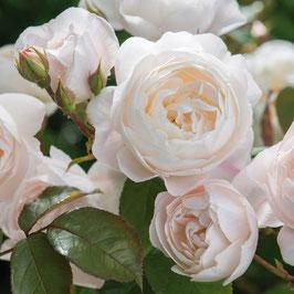Englische Rose 'Desdemona'