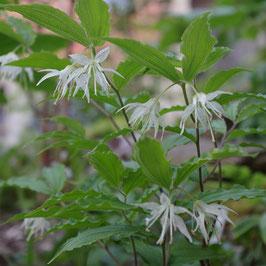 Disporum maculatum syn. Prosartes maculata - Geflecktes Feenglöckchen