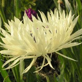Centaurea cheiranthifolia - Goldlackblättrige Flockenblume