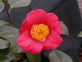 Anemoniflora