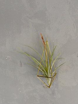 Luftpflanze mit Halterung aus Messing