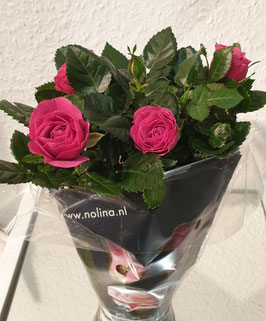 Rose klein mit Topf