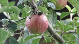 Malus domestica - Äpfel