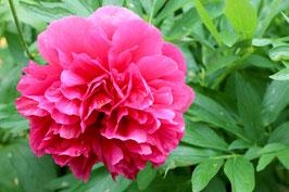 Pfingstrose rose