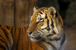 Tiger - Diego