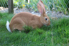 Kaninchen (ganz)