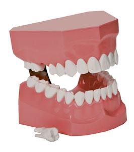 Modell zur Zahnpflegeanleitung