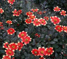 Dahlegria Bicolore
