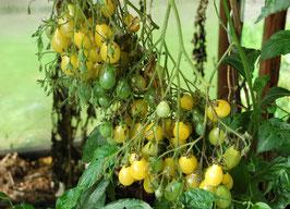 'Gelbe Dattelwein' Kirschtomate