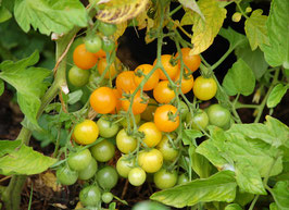 'Bolivianische Obsttomate' Wildtomate