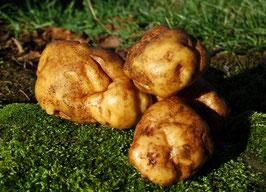 'Ackersegen' Kartoffel