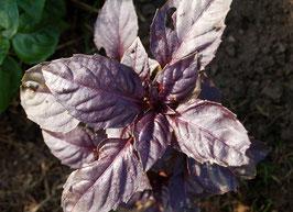 'Aromatischer Violetter' Basilikum