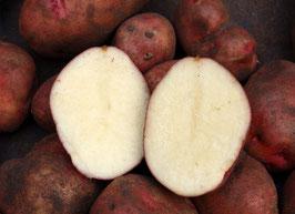 'Reichskanzler' Kartoffel