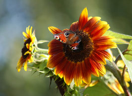 'Abendsonne' Sonnenblume