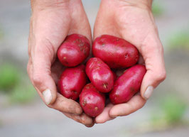 'Magenta Love' Kartoffel