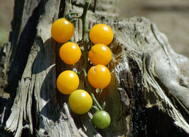 'Golden Currant' Wildtomate