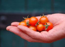 'Aprikosenkirsche' Kirschtomate