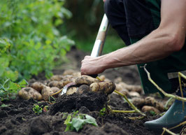 'Moor-Sieglinde' Kartoffel
