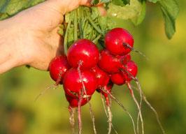 'Cherry Belle' Radieschen