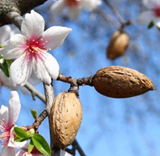 Almond Oil, 16oz