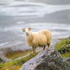 Grönland Schaffell