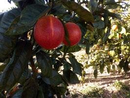 Naranja Sanguina o Sanguinelli