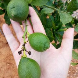 Limón verde