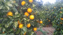 Naranja Valencia Zumo