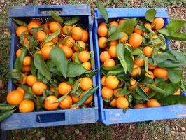 mandarina garbí