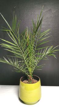 Phoenix dans son pot en céramique vert