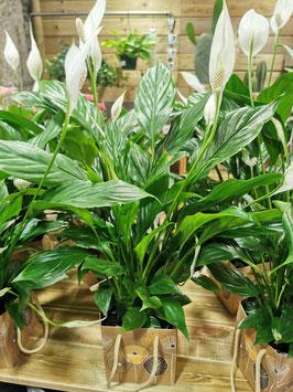Spathiphyllum et son sac décoratif étanche