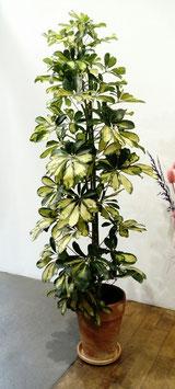 Schefflera panaché