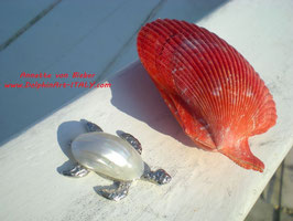 WHITE SHELL TURTLE