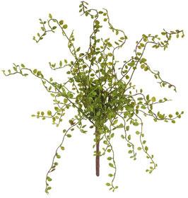 Mühlenbeckiabusch 38 cm